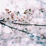 海外「樹齢370年」しだれ桜の美しさと優雅さに外国人から驚きと賞賛の声!