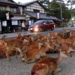 海外「鹿がお辞儀するんだぜ!」奈良公園の鹿に外国人、カルチャーショック!