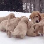 海外「理想の母親だわ!」子犬に追いかけれる母犬に外国人ほっこりの嵐