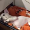 海外「超かわいいね!」机の引き出しで寝ている犬に外国人ほっこりの嵐
