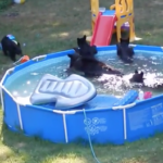海外「5匹の子グマ?」プールで遊ぶ親子クマに外国人ほっこりの嵐