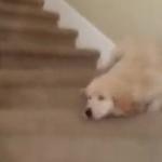 海外「犬は愛とお馬鹿にあふれた生き物」階段から転げ落ちる犬に外国人ほっこりの嵐