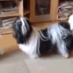 海外「犬って素晴らしいね!」猫同士の喧嘩を仲裁する小犬に外国人癒される。
