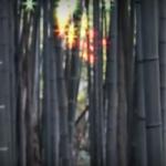 海外「魔法のようだ」京都嵐山の竹林の美しさと静寂に外国人感動!