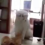 海外「笑ったわ」猫のシャーマンが子猫に祈祷する様子に外国人から驚きの声!