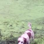 海外「凄くかわいい!」アヒルたちに騙されたおバカ犬に外国人癒される!