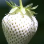 """海外「興味深いよ」日本が誇る白いイチゴ""""白い宝石""""の魅力に外国人興味津々!"""