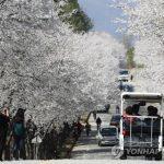 韓国「韓国で大日本帝国の桜が満開です!」親日派が好きな花だの声