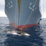 韓国「日本が妊娠中のクジラ122頭を虐殺した!」日本が言う研究は料理研究だ!の声