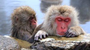 海外「温泉に入る猿を見て人生観が変わった!」日本の猿に外国人観光客、大興奮!