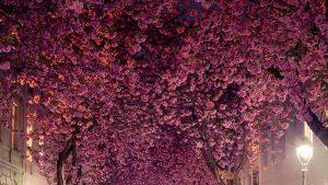 日独友好「アニメのようだ」ドイツの桜のトンネルの美しさに外国人から賞賛の声!